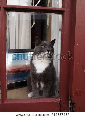 A beautiful gray and white cat with gold eyes gazes out through a rustic window frame. - stock photo