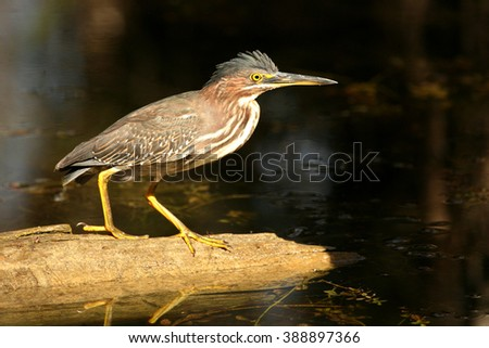 A beautiful Green Heron is fishing in the Florida Everglades