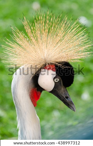 A beautiful grey crowned crane on sun light