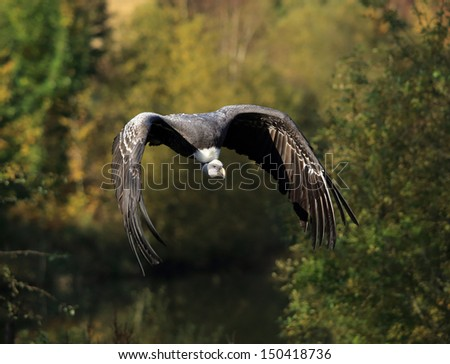 A beautiful Griffon Vulture in flight - stock photo