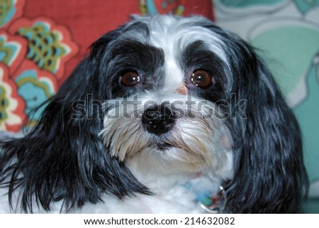 A Beautiful half Shih Tzu - Maltese dog poses for her portrait on a nice new couch in the comfort of her home. Small dogs are loved by people around the world and like to sit on your lap or be held. - stock photo