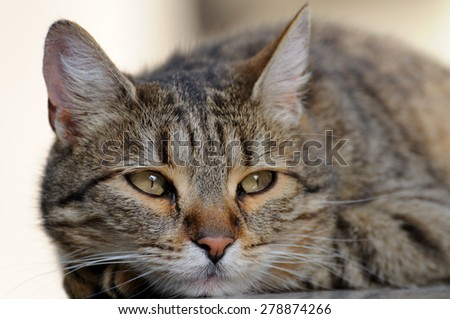 A beautiful home cat portrait close-up - stock photo