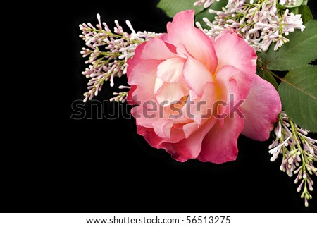 A beautiful home grown pink rose with lilac on a black background with copy space