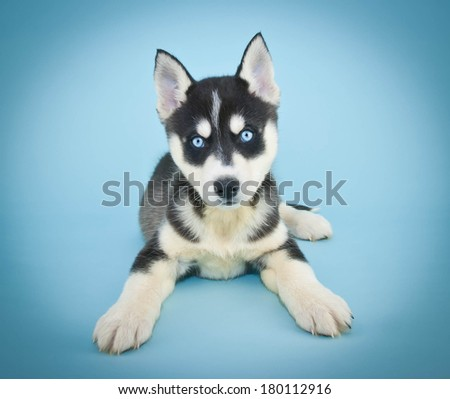 A beautiful Husky puppy with pretty blue eyes on a blue background.