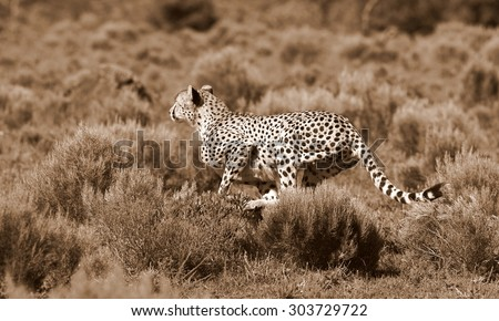 A beautiful image of a cheetah running while hunting on the the plains.Taken on safari in Africa.
