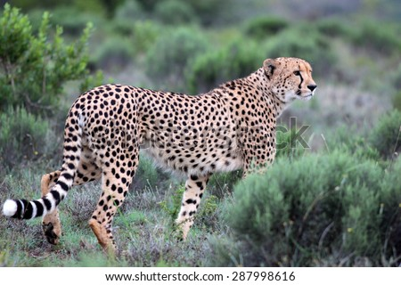 A beautiful image of a cheetah walking oven the plains.Taken on safari in Africa. - stock photo