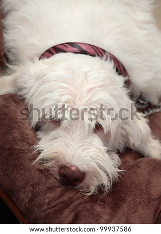 A beautiful italian spinone lying lazily on a comfy brown rug. He has a long shaggy fuzzy coat.  This breed dates back to 500bc. - stock photo