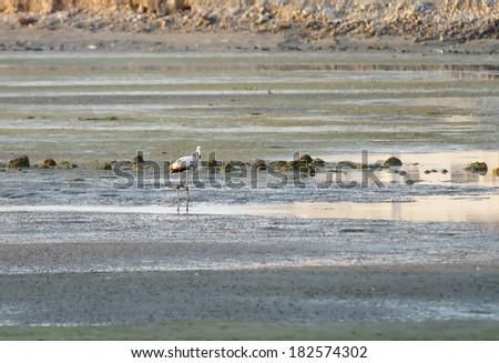 A beautiful juvenile flamingo feeding during low tide  - stock photo