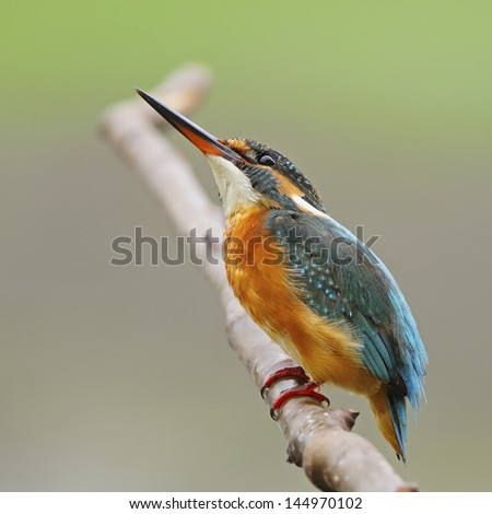 A beautiful Kingfisher bird, female Common Kingfisher (Alcedo athis), standing on a branch, side profile