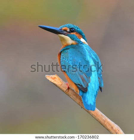 A beautiful Kingfisher bird, male Common Kingfisher (Alcedo athis), sitting on a branch