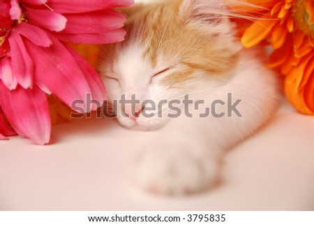 A beautiful kitten taking a nap between two colorful flowers