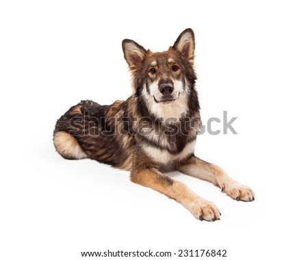 A beautiful large Wolf and German Shepherd mixed breed dog  - stock photo