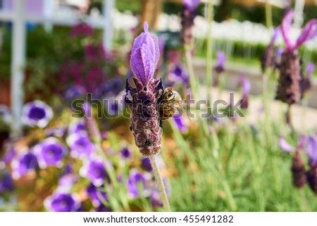 a beautiful lavender and a bee clinging on it