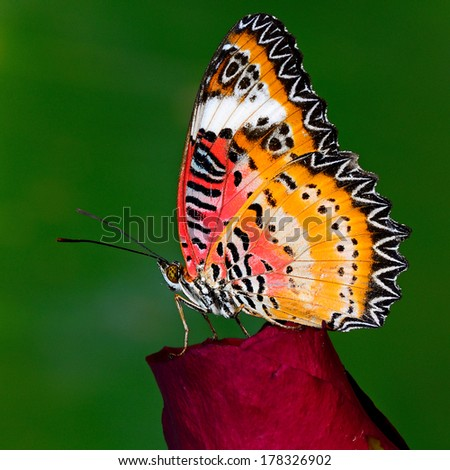 A beautiful Leopard Lacewing butterfly on green background.(Cethosia cyane) - stock photo
