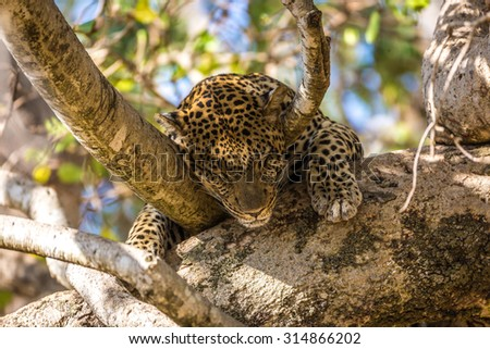 A beautiful leopard laying down in a tree, Serengeti National Park in Tanzania, Africa