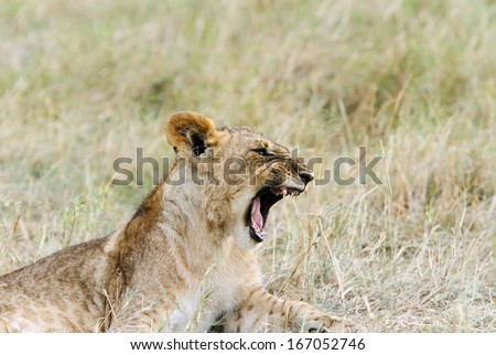 A beautiful lion cub with open mouth - stock photo