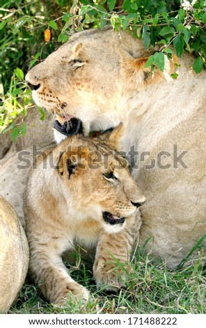 A beautiful lioness and a cub - stock photo