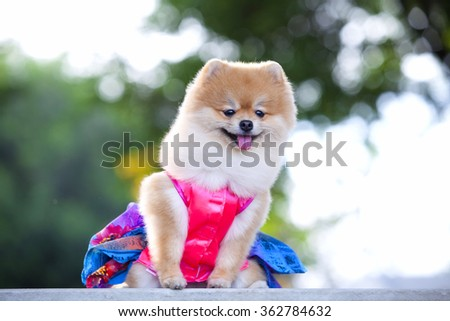A beautiful little full body of a Pomeranian dog with cute expression in the face standing and watching other dogs in the park outdoors - stock photo