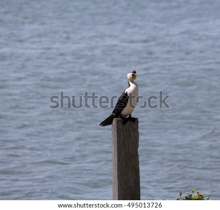 a beautiful little pied cormorant microcarbo melanoleucos is perched on a wooden post in the leschenault
