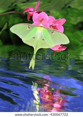 A beautiful Luna Moth (Actias luna) at pink orchids with its reflection in a quiet stream. - stock photo