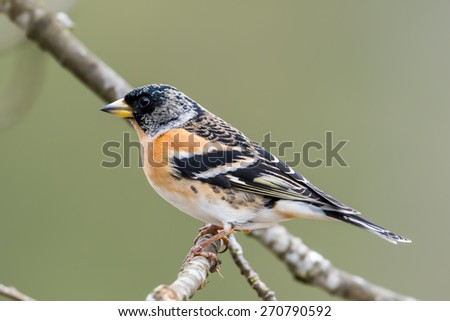 A beautiful male brambling (fringilla montifringilla) with his black hood perching on a twig in the oak. In  summer the hood is all black. - stock photo