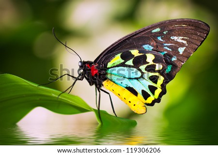 A beautiful male Cairns Birdwing Butterfly (Ornithoptera euphorion) sitting on a leaf with reflection in the water. - stock photo