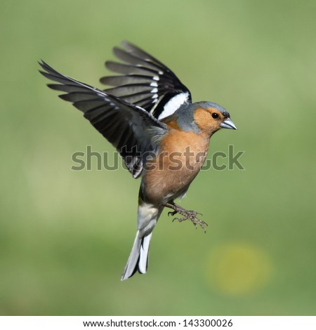 A beautiful male Chaffinch in flight - stock photo