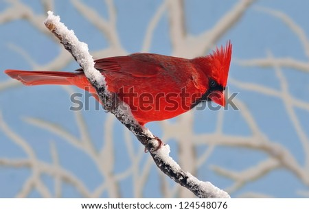 A beautiful male Northern Cardinal (Cardinalis cardinalis) on a snow- covered branch with snowy branches and blue sky in the background. - stock photo