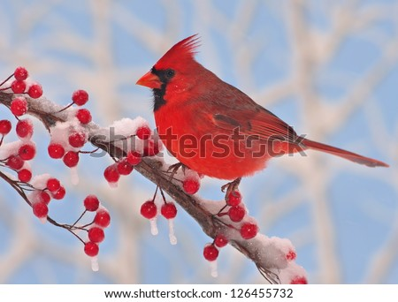 Cardinal bird in snow stock images royalty free images - Winter cardinal background ...