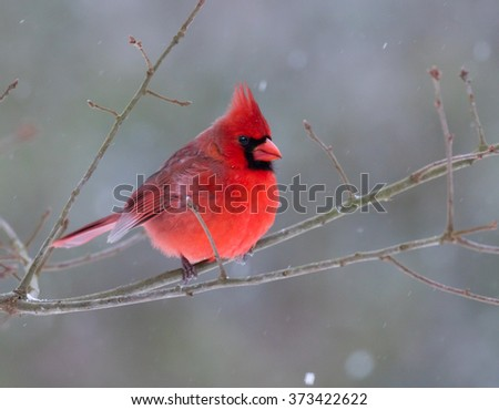 A beautiful male Northern Cardinal (Cardinalis cardinalis) perched on a branch on a snowy day - stock photo