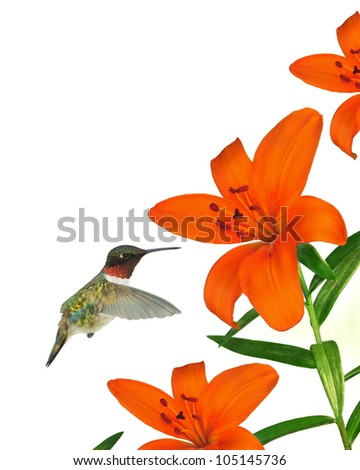 A beautiful male Ruby- throated Hummingbird (Archilochus colubris) at orange Asiatic lilies isolated on a white background. - stock photo