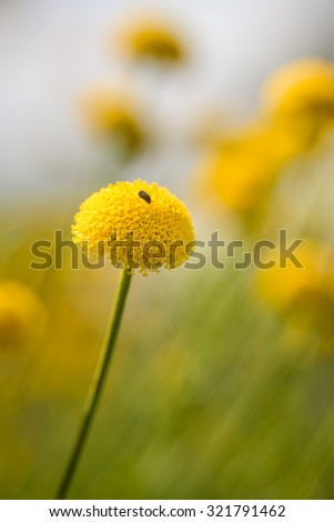 A beautiful meadow of yellow flowers in summertime showing a small bug on the closest flower - stock photo