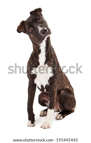 A beautiful Mountain Cur breed dog sitting while looking at the camera with a tilted head - stock photo