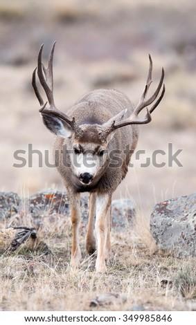 A beautiful mule deer buck during rut walking toward photographer with head down; portrait - stock photo