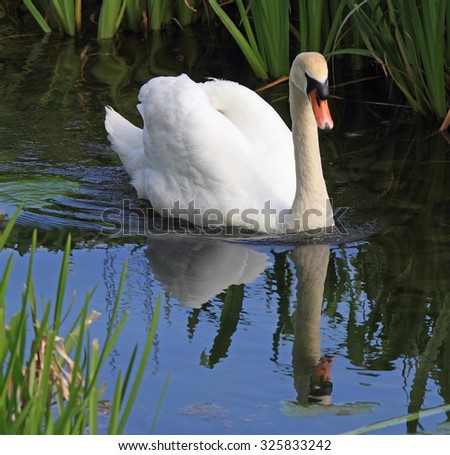 A beautiful Mute Swan swimming and reflecting in the calm blue water - stock photo