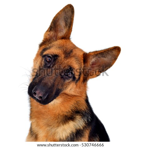 A beautiful muzzle is the German shepherd, isolated on a white background. Fluffy dog close-up of brown and black color