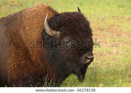 A beautiful North American Bison sits in Yellowstone National Park - stock photo