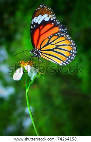A beautiful orange butterfly resting on a white flower - stock photo