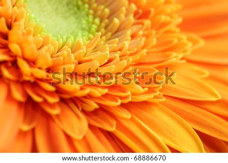 A beautiful orange gerber macro picture - stock photo