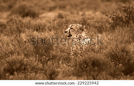 A beautiful photo of a cheetah lying in the grass.Taken on safari in Africa. - stock photo