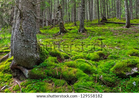 a beautiful pine forest with green grass