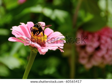 A beautiful pink daisy is in full bloom in summer and a polenating honey bee. - stock photo