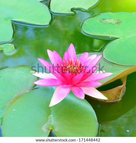 A beautiful pink waterlily or lotus flower.