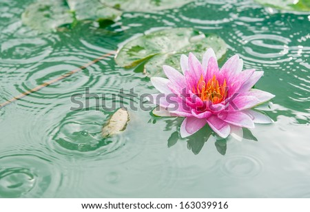 A beautiful pink waterlily or lotus flower in pond with rain drop - stock photo