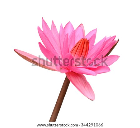A beautiful pink waterlily or lotus flower isolate on white background. - stock photo