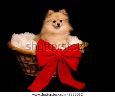 A beautiful Pomeranian puppy in a wicker basket with a big red bow.