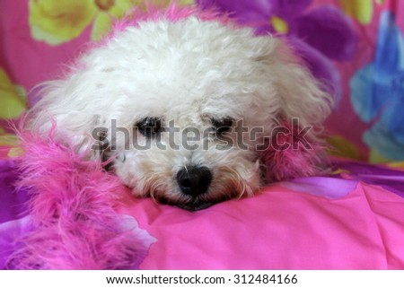 A beautiful purebred female white Maltese Puppy smiles as she lays upon a colorful flower pattern silk background as she has her portrait taken. White Dogs are loved by people around the world.  - stock photo