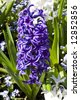 A beautiful purple hyacinth in bloom in early spring - stock photo