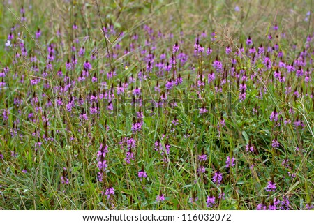 A Beautiful Purple Wildflower in Thailand - stock photo