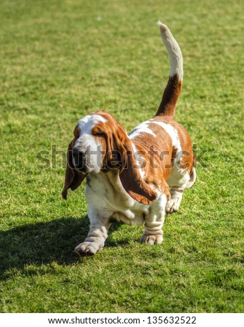 A beautiful, red and white Basset Hound dog walking on the lawn, distinctive for being short-legged, having hanging skin structure, and their very good sense of smell. - stock photo